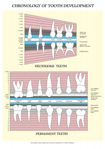 Chronology of tooth development
